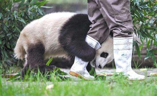 可愛いパンダと近く触れ合う、パンダボランティアを体験~